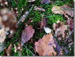 Dood mannetje kleine wintervlinder